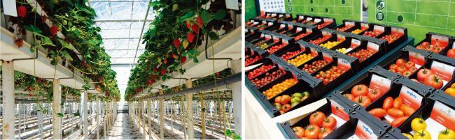 네덜란드 딸기 스마트팜의 유리온실 내부 모습.(왼쪽) 네덜란드 스마트팜의 생산성은 우리나라의 10배로 농업 경쟁력을 극대화했다. 스마트팜 수확 작물들. [사진 제공=푸르메재단]
