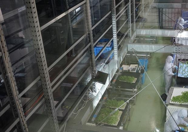 양상추를 대량 생산하는 식물공장