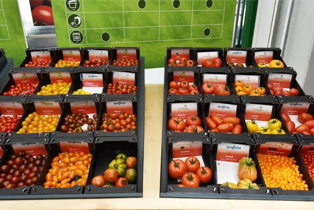 토마토월드에서 재배되는 다양한 품종의 토마토들