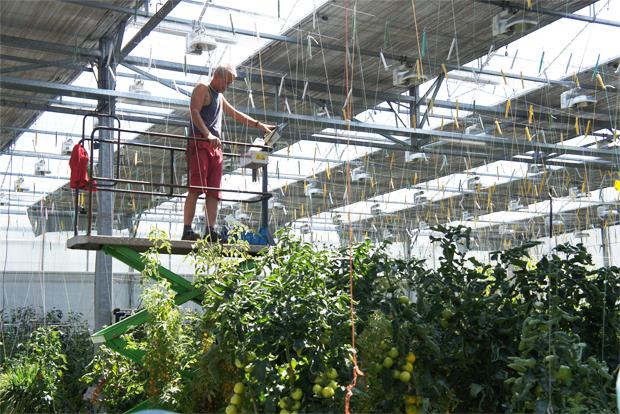 토마토월드에서 일하고 있는 노동자