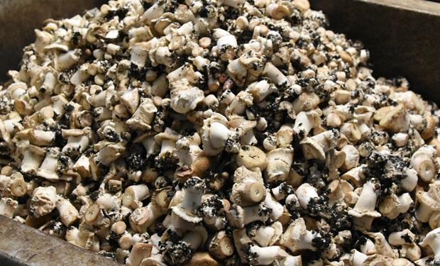 수확과정에서 잘라낸 버섯기둥들은 푸드뱅크나 인근의 농가로 보내 활용되고 있다.