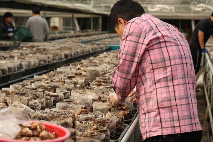 버섯을 따는 종로장애인복지관의 장애인 직원.