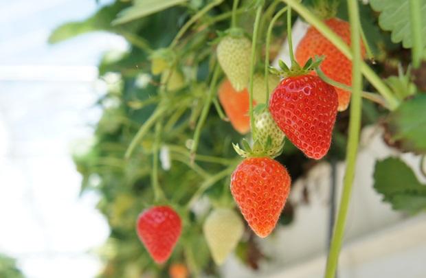 스마트팜에 열린 싱그러운 딸기들.