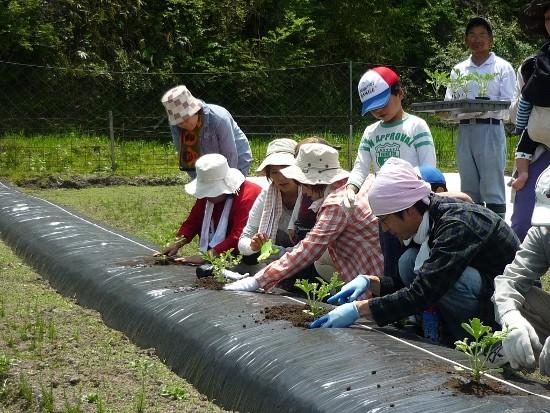 하트랜드 히로시마의 필드 양액재배시스템.(수경재배)