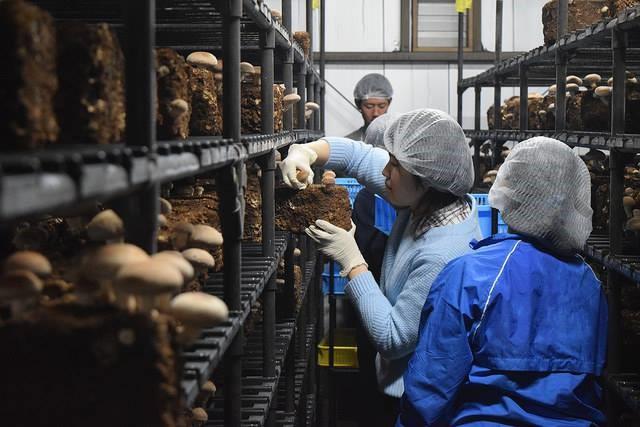 표고버섯 생산 작업을 하고 있는 장애인 직원들.