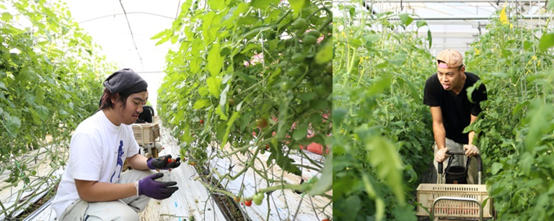 토마토 재배작업을 하는 장애인 직원들.