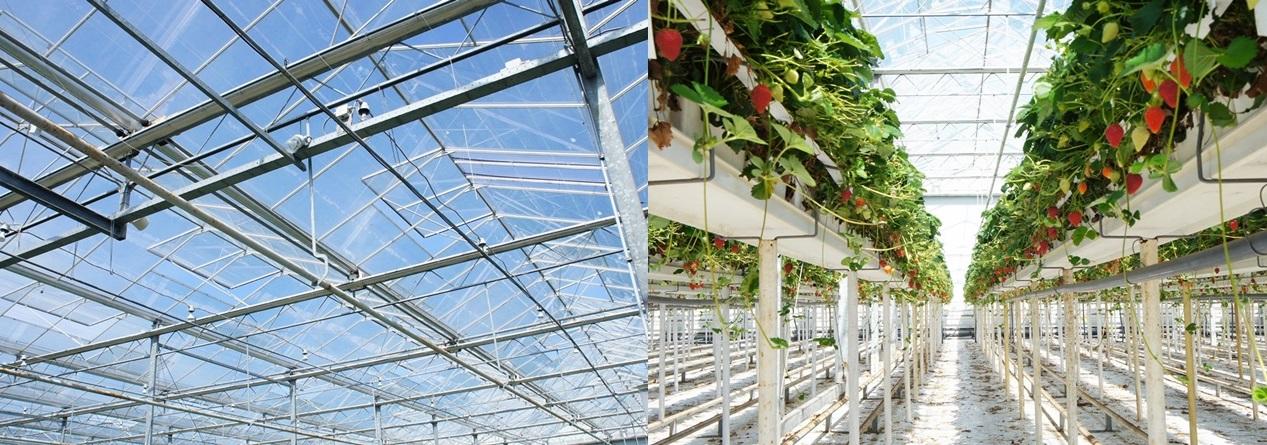 스프링쿨러가 설치된 온실 상단(왼쪽)과 1.35m 높이로 설치된 고설베드.