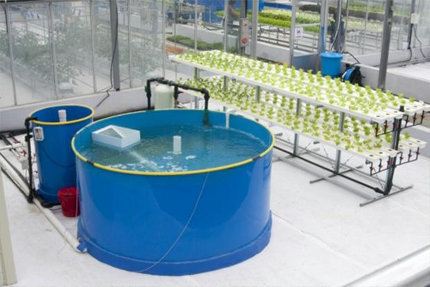 물고기의 배설물을 활용해 작물을 키우는 아쿠아포닉스 (출처 : 경기도농업기술원)