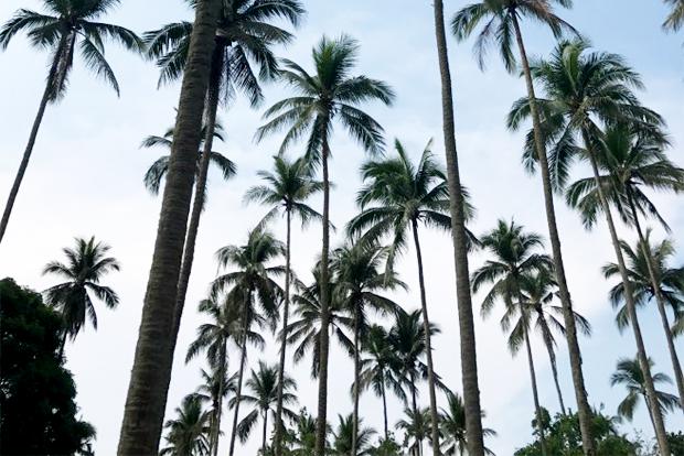 필리핀의 코코넛 나무