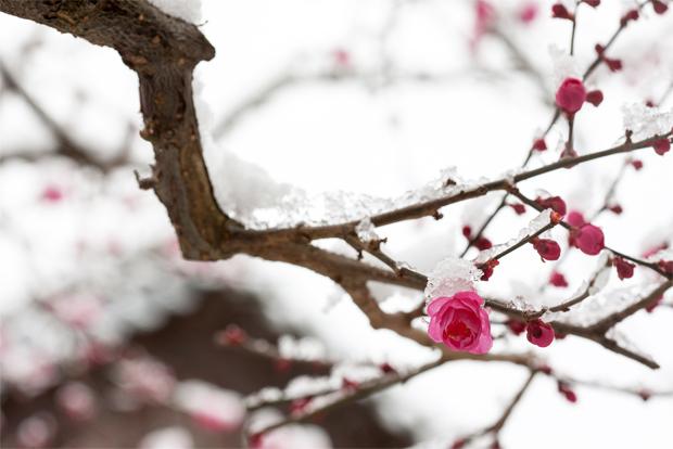 꽃망울을 터뜨린 매화 나무