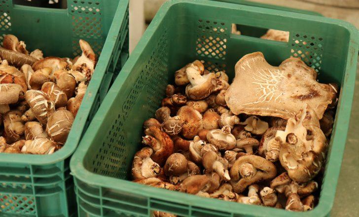 장애청년들이 수확한 표고버섯.
